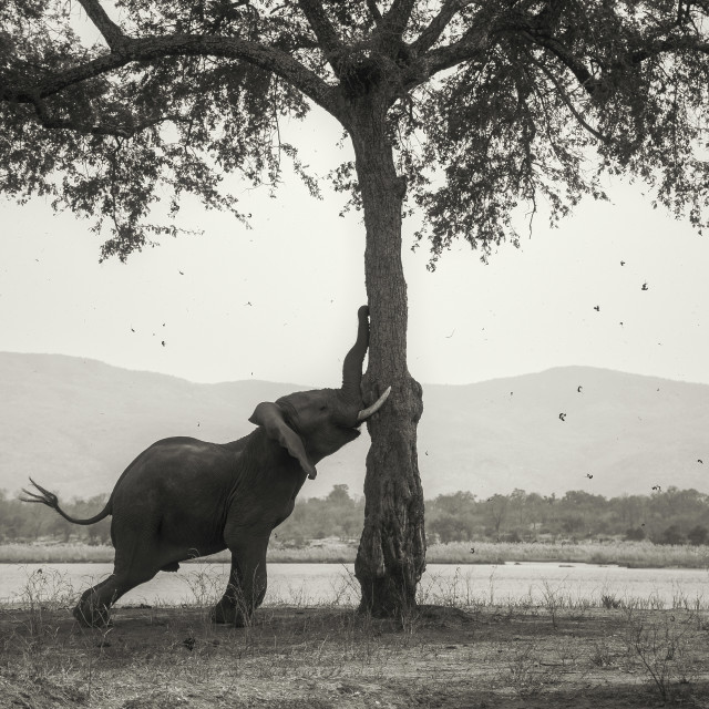 """Elephant pushing a tree"" stock image"