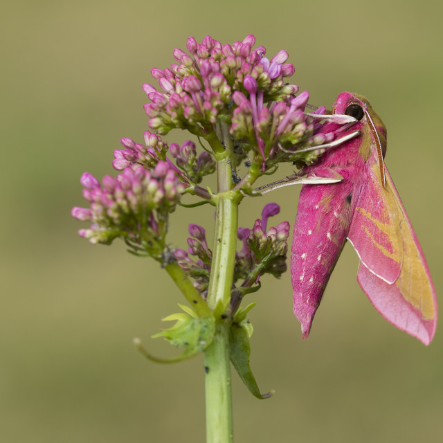 """Elephant Hawk-moth (Deilephila elpenor)."" stock image"