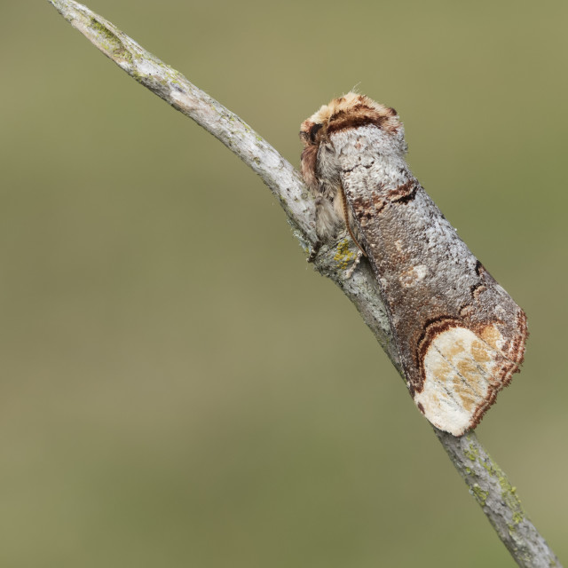 """Buff-tip (Phalera bucephala)."" stock image"