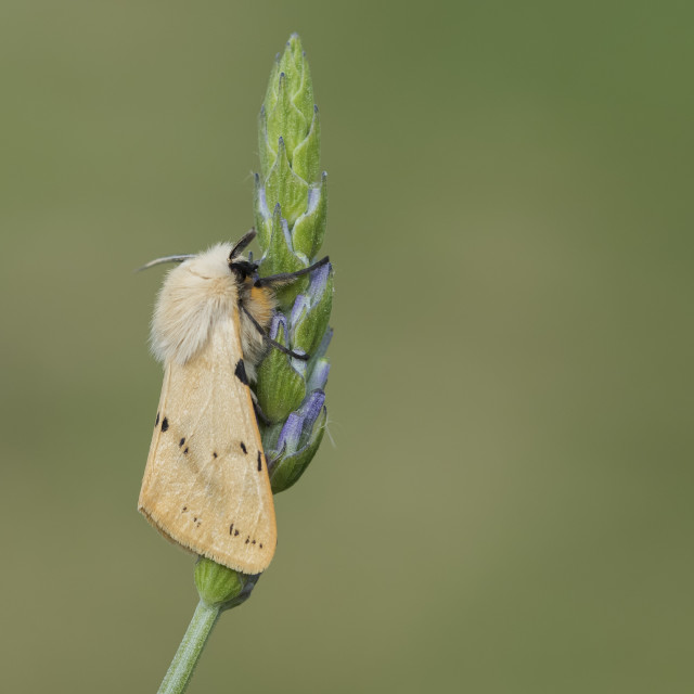 """""""Buff Ermine (Spilosoma luteum)."""" stock image"""