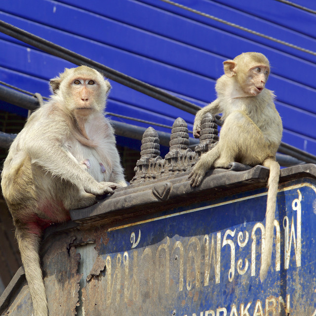 """Urban Monkeys"" stock image"