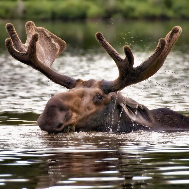 """Maine Bull Moose"" stock image"