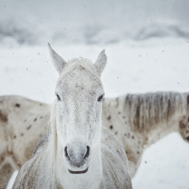"""Horses in winter"" stock image"