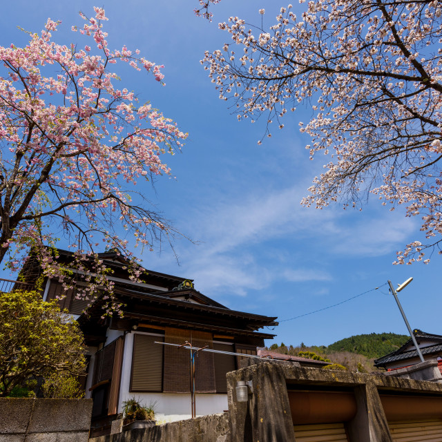 """Japanese house with cherry blossom or sakura"" stock image"