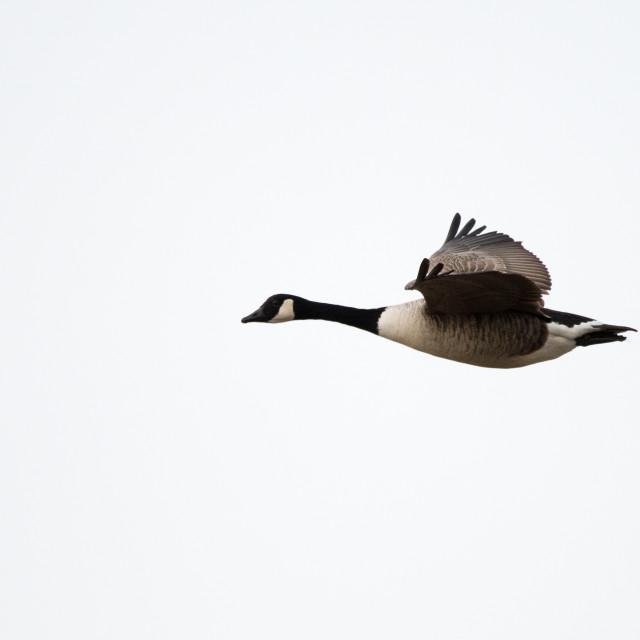 """Canada Goose ( Branta canadensis)"" stock image"