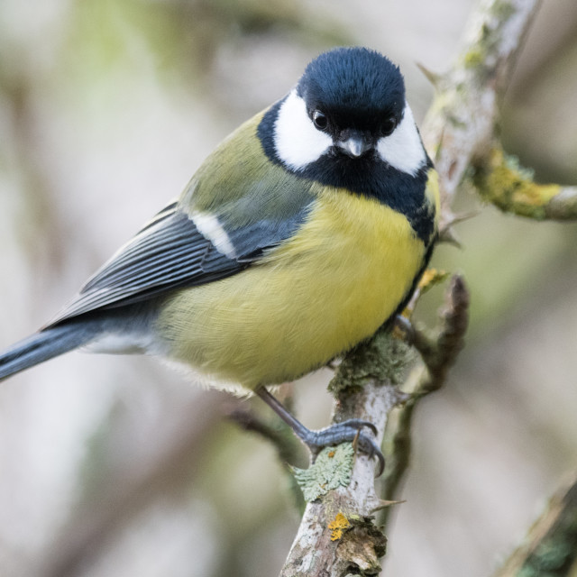 """Great Tit ( parus major)"" stock image"
