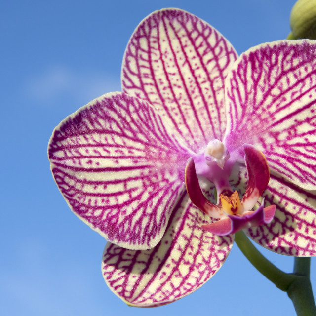 """""""Orchid Bloom"""" stock image"""