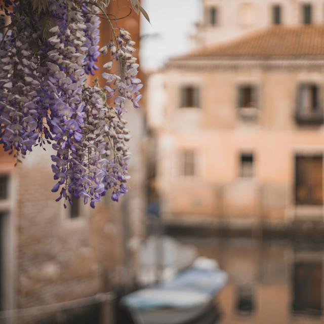 """""""Wisteria hangs above a Venice canal"""" stock image"""
