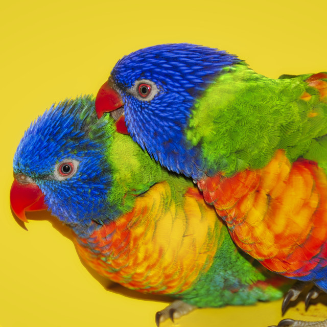 """Two Rainbow Lorikeets"" stock image"