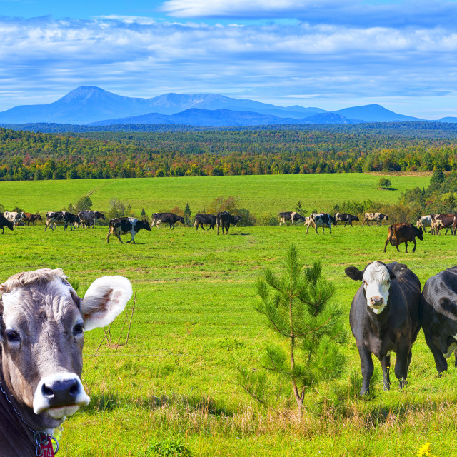 """""""Maine Cows"""" stock image"""