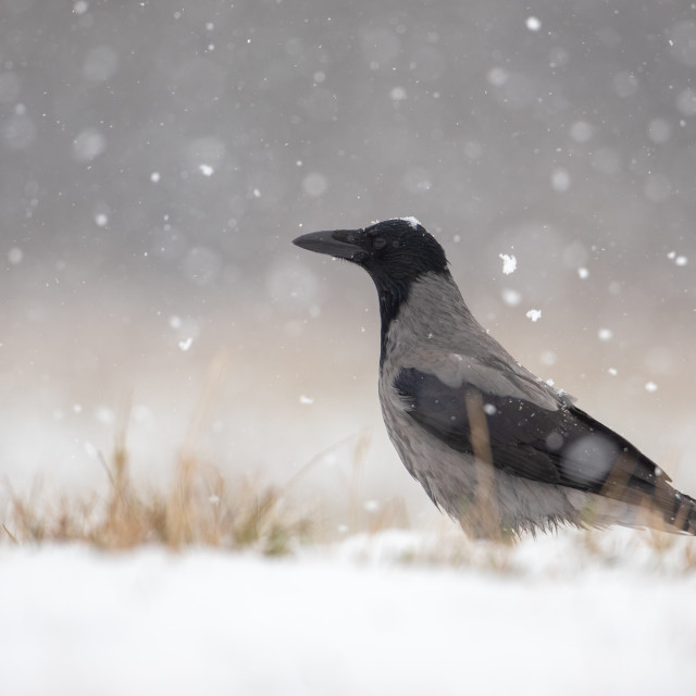 """""""Hooded crow on snow in winter during snowfall"""" stock image"""