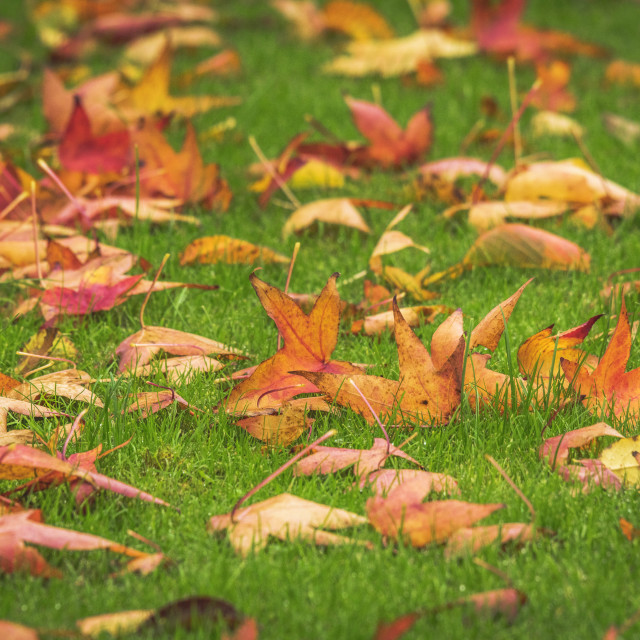 """Golden maple leaves on a green lawn in the fall"" stock image"
