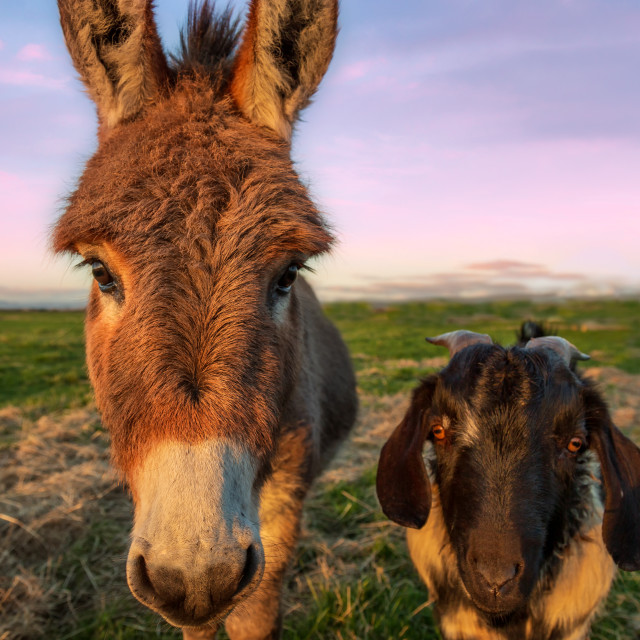 """""""A Color Portrait of a Dinkey and Goat at Sunset, California, USA"""" stock image"""