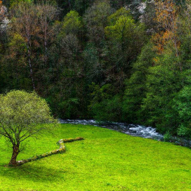 """""""Lone Oak in a meadow"""" stock image"""