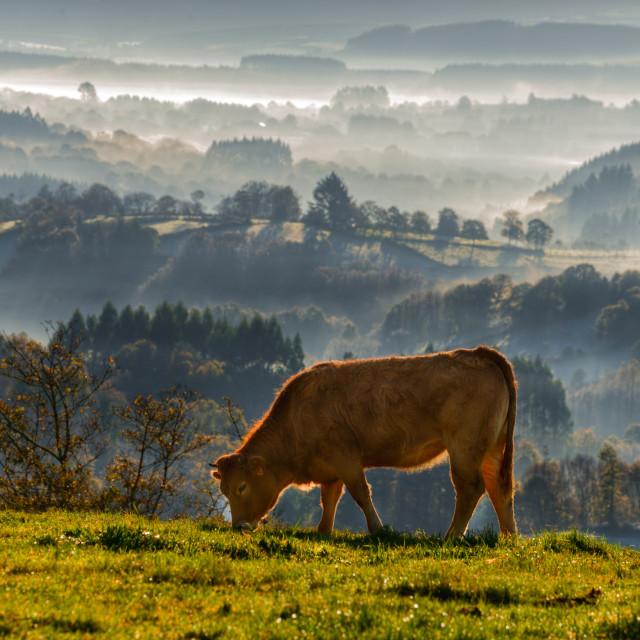"""veal rubia galega grazing"" stock image"