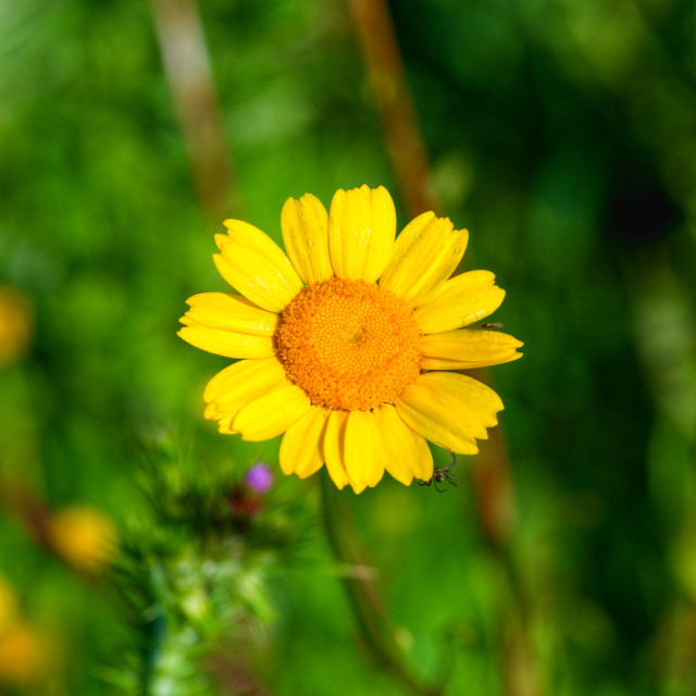 """""""Yellow Flower and little Spider"""" stock image"""