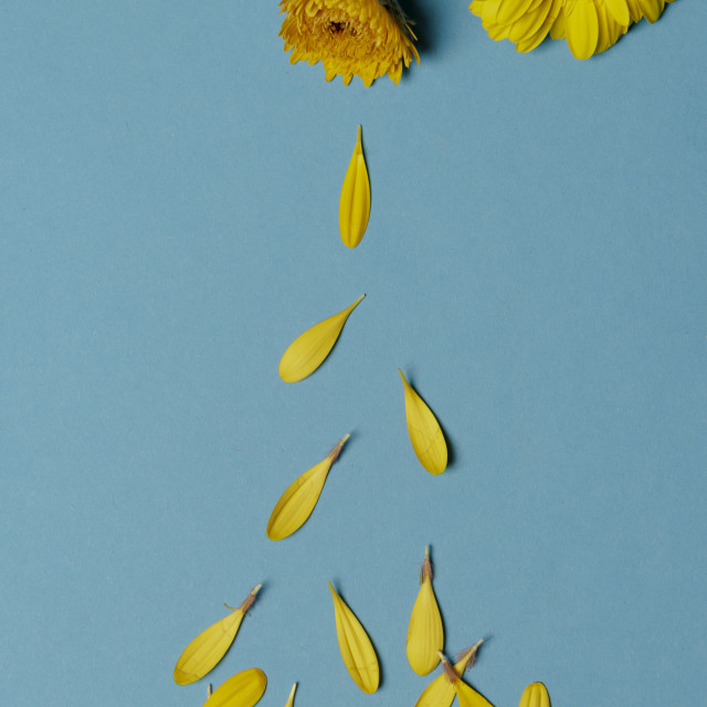 """Chrysanthemum yellow flowers and falling petals"" stock image"