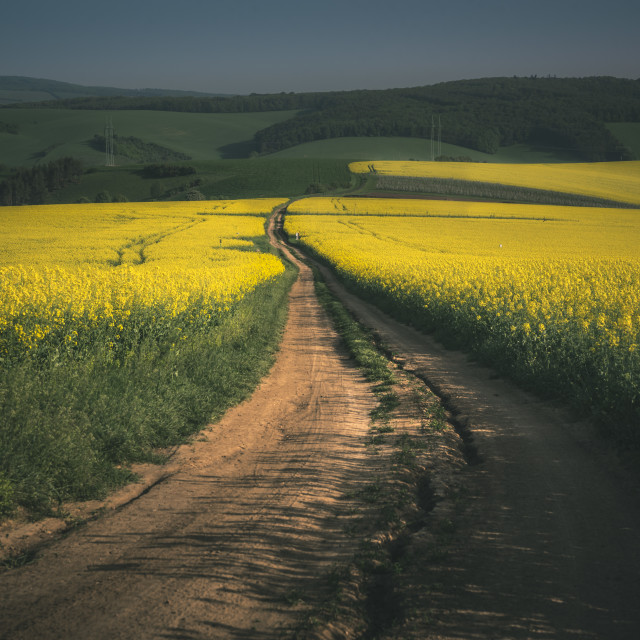 """Rapeseed fields in the Moravia Region"" stock image"