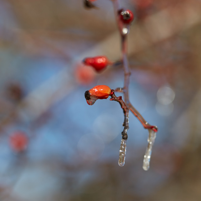 """""""Ice on branches"""" stock image"""
