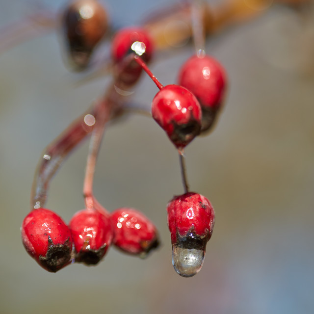 """""""Hawthorn fruits with ice on them"""" stock image"""