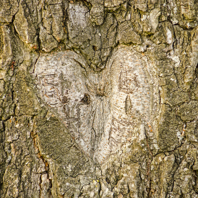 """Heart carved out in a tree"" stock image"