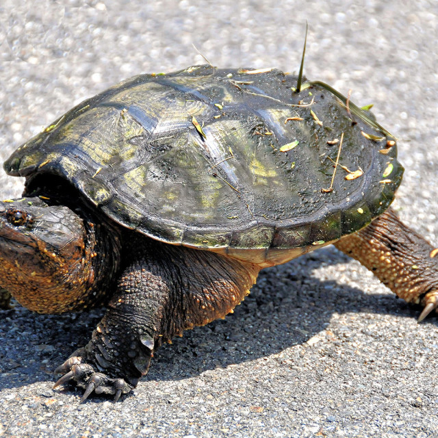"""""""Snapping Turtle"""" stock image"""