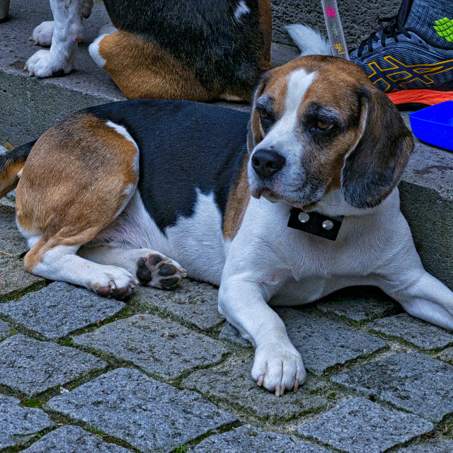 """German Beagle"" stock image"