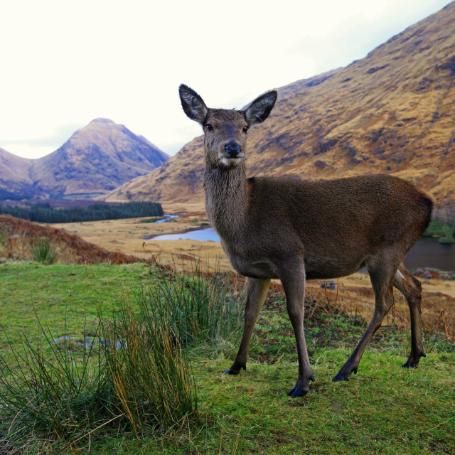 """Deer in Glen Etive"" stock image"
