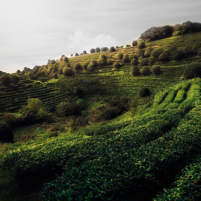 """Tea Fields"" stock image"