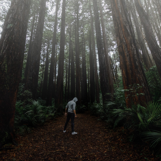 """""""The Redwoods"""" stock image"""