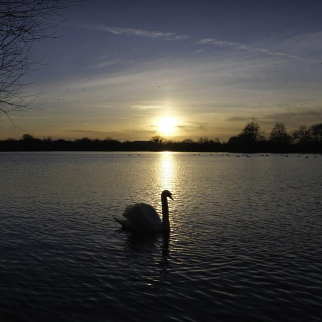 """Swan on the lake"" stock image"