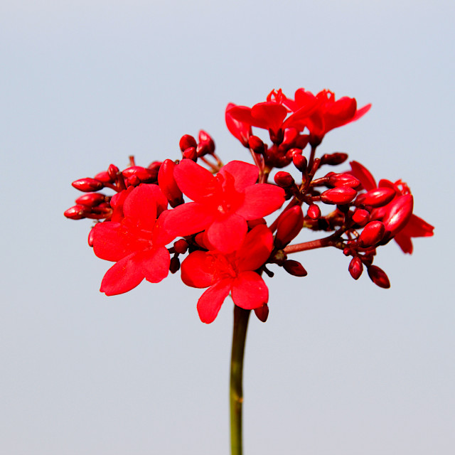 """""""Stem of Red Buds and Flowers"""" stock image"""
