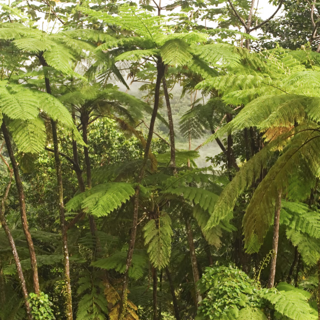"""""""Ferns, El Yunque (Caribbean National Forest), Puerto Rico"""" stock image"""