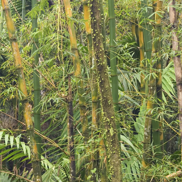 """""""Bamboo trees, El Yunque (Caribbean National Forest), Puerto Rico"""" stock image"""