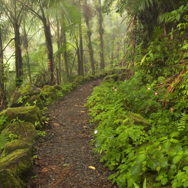 """""""Trail through rain forest, El Yunque (Caribbean National Forest), Puerto Rico"""" stock image"""