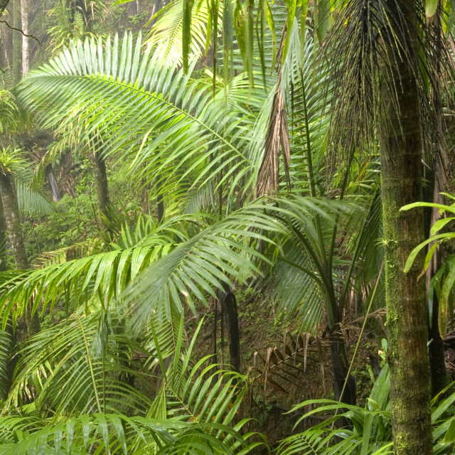 """""""Palm trees in rain forest, El Yunque (Caribbean National Forest), Puerto Rico"""" stock image"""