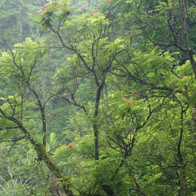 """""""Trees in the mist, El Yunque (Caribbean National Forest), Puerto Rico"""" stock image"""