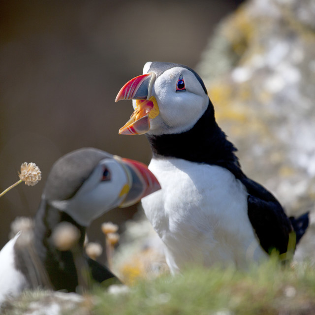 """Puffins in Orkney"" stock image"