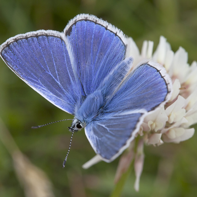 """Common blue butterfly"" stock image"