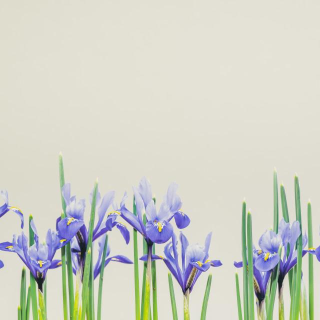 """Iris Reticulata Dwarf Iris"" stock image"