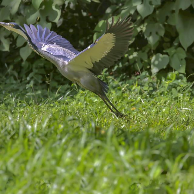 """Black headed heron"" stock image"