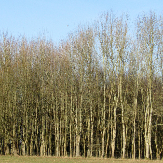 """Tall standing trees in Cotswolds"" stock image"