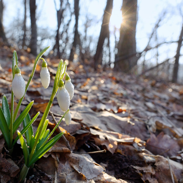 """First spring flowers, snowdrops in forest"" stock image"