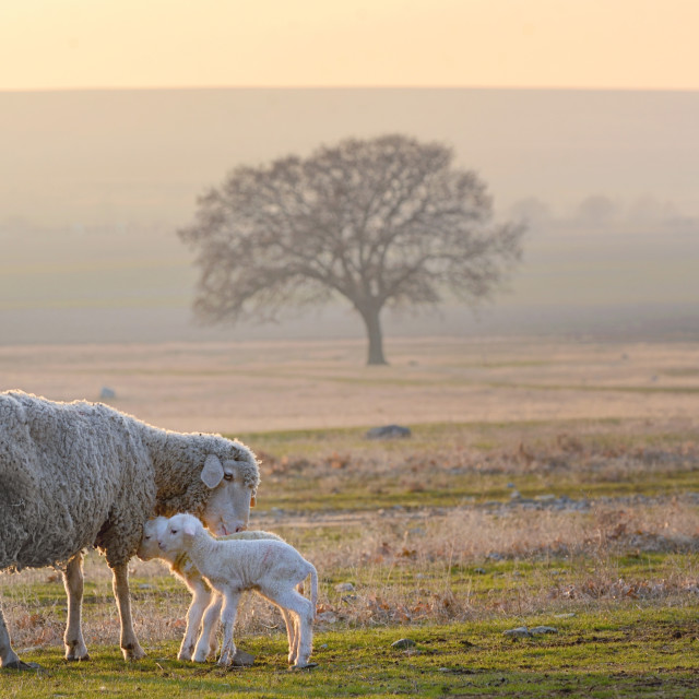 """Sheep and two lambs"" stock image"