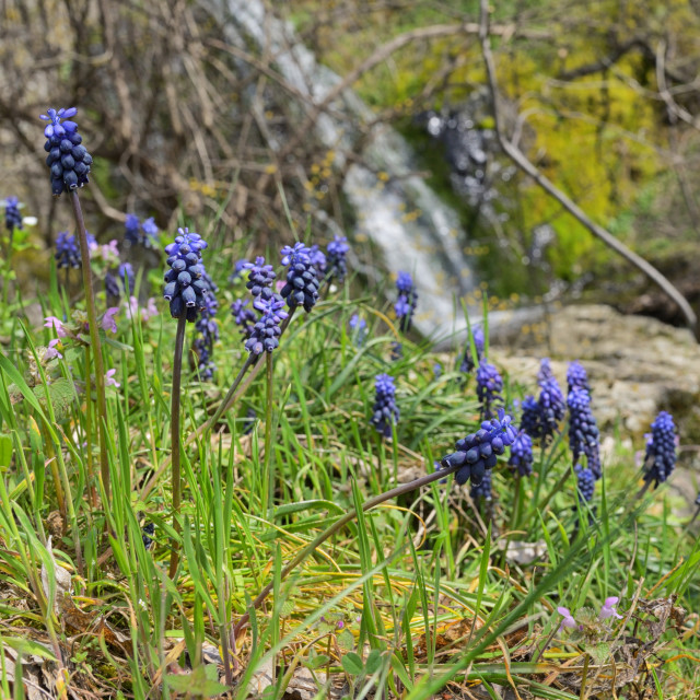 """Muscari neglectum flowers in spring time"" stock image"