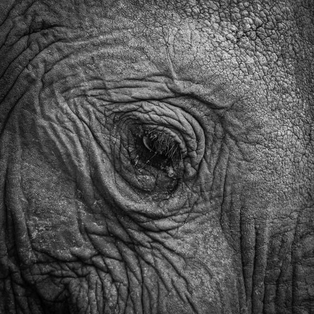 """""""Elephant eye detail"""" stock image"""