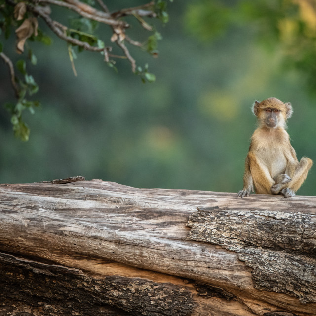 """Yellow baboon, South Luangwa, Zambia"" stock image"