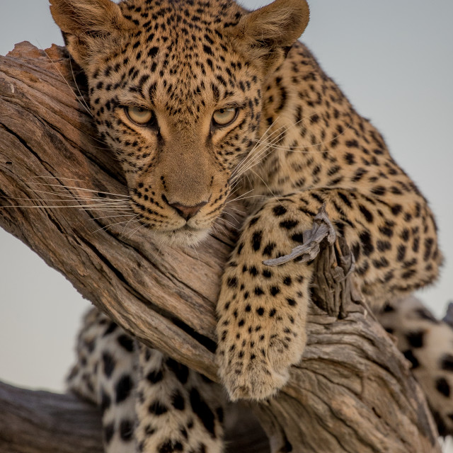 """Female leopard"" stock image"