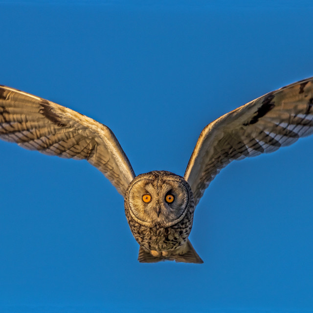 """long eared owl flying"" stock image"