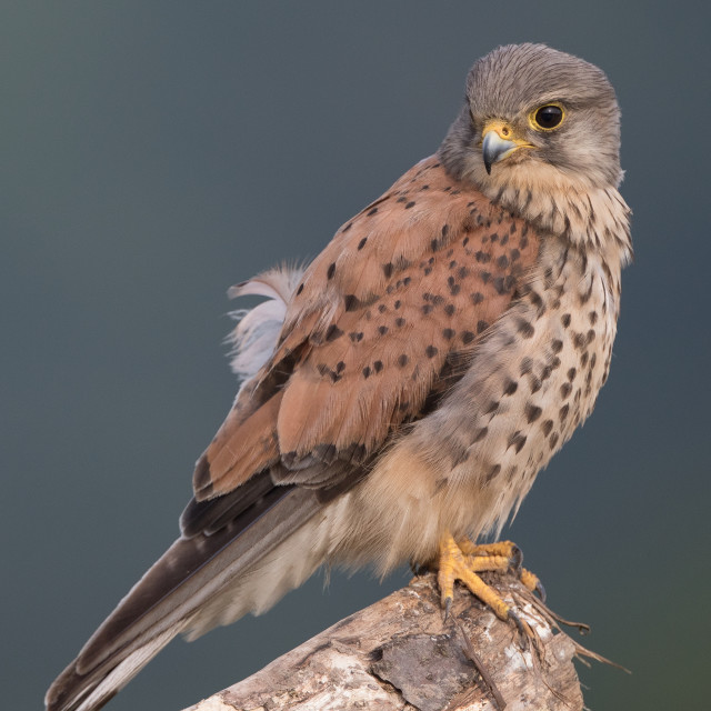 """Male European kestrel"" stock image"